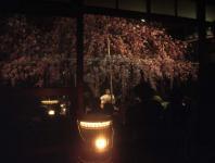 夜の枝垂桜ミニライブ